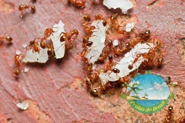 Inseticida Natural/ Biológico para formigas domesticas