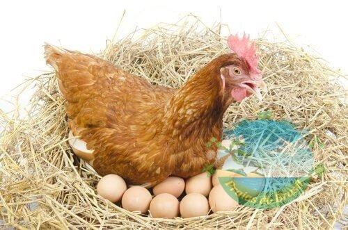 Ganhe muito dinheiro, criando galinhas e vendendo ovos caipiras