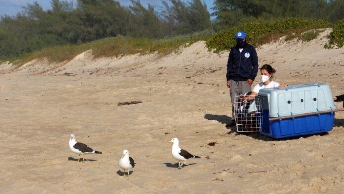 R3 Animal realiza soltura de cinco gaivotas na Praia do Moçambique, em Florianópolis